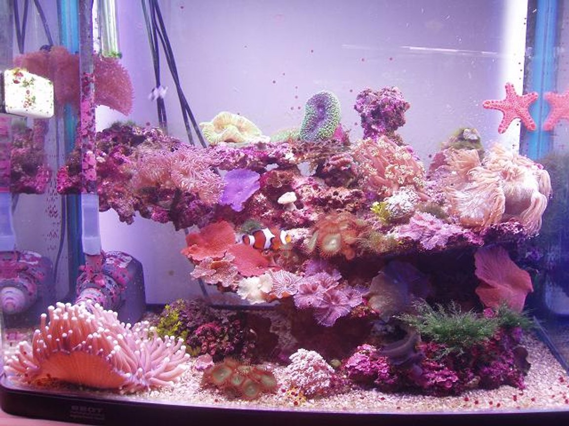35 gallons reef tank (mostly live coral and fish) - This is my Salt Tank! Its about half way there. Its 2 ft wide, 2 ft high & just over a foot in depth. Its been up and runnin since october 05. There is heaps of cool coral in there, im not going 2 name it all now. ill do this later. There is 3 fish for now, i have 3 decrotive slugs to & a biscut star fish. ITS EASY!!!!!!!