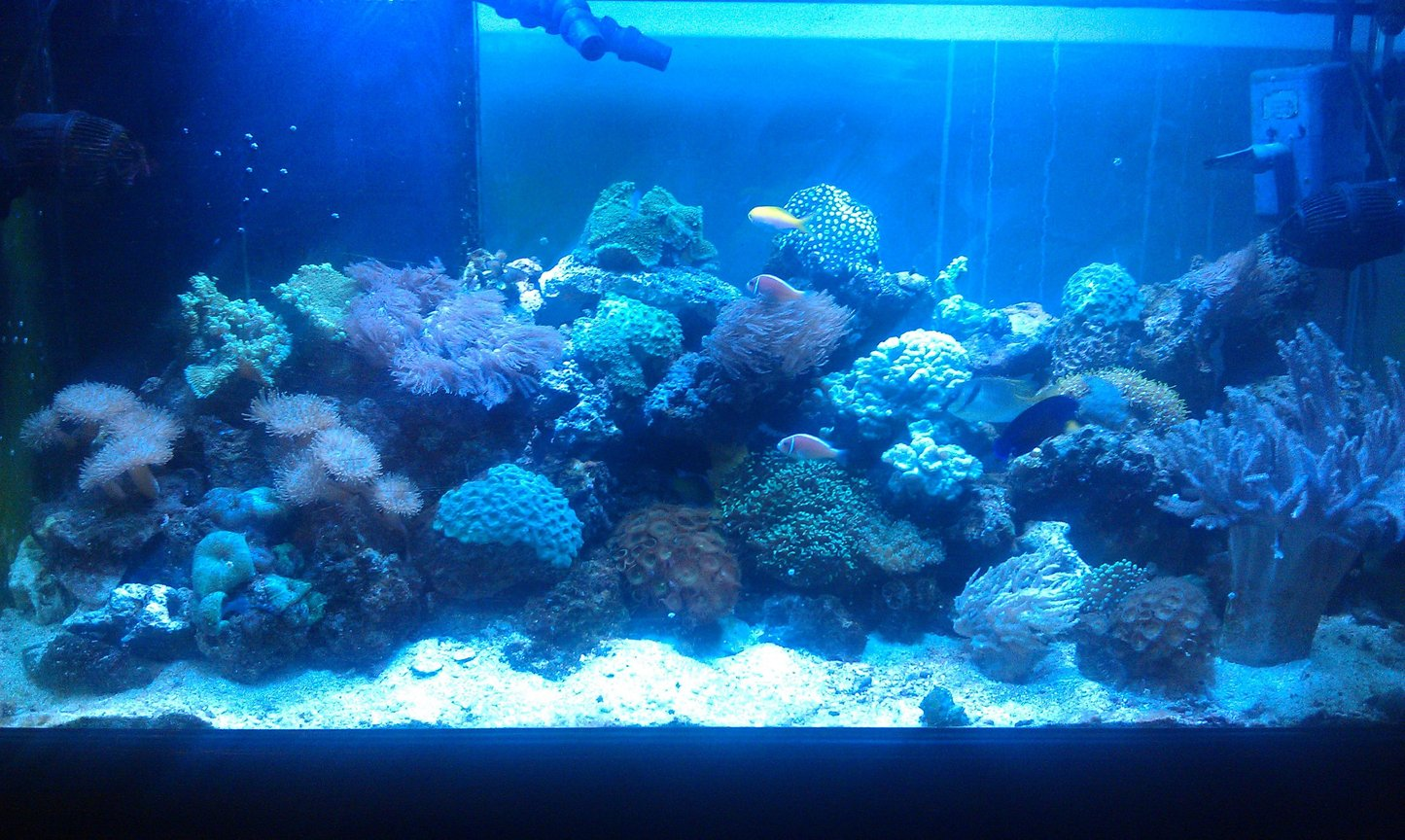 90 gallons reef tank (mostly live coral and fish) - Full frontal picture.