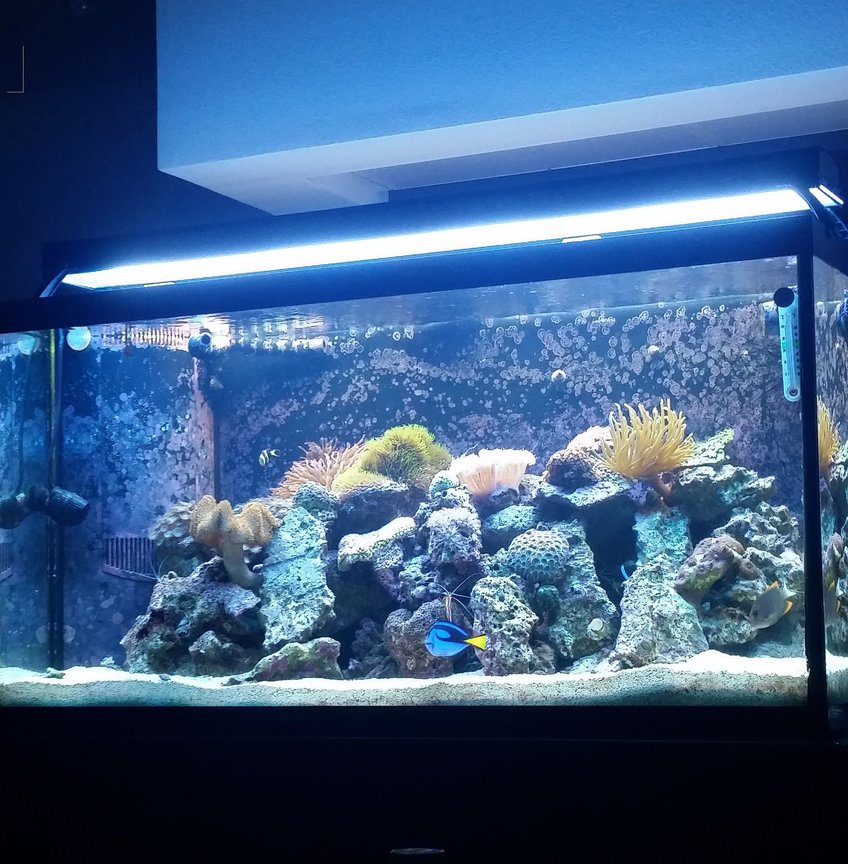 90 gallons reef tank (mostly live coral and fish) - My tank is a 90 Gallon Reef Tank. A 2 bulb T 5 and a 48 inch LED Edge. 20/25 gallon sump with refug ium and Eshopps skimmer. There are three power heads in the tank. 2 450 gph hydors and one wave maker 1350gph There are six fish in the tank: 2 Clowns Leopard Wrasse Blue Hippo Tang Tomani Tang Watchman Goby Several shrimp including a fire, few cleaners and a few peppermint along with a black long spine urchin and snails. 2 Anenomes (Rose Bulb and Condi) Over 10 corals.