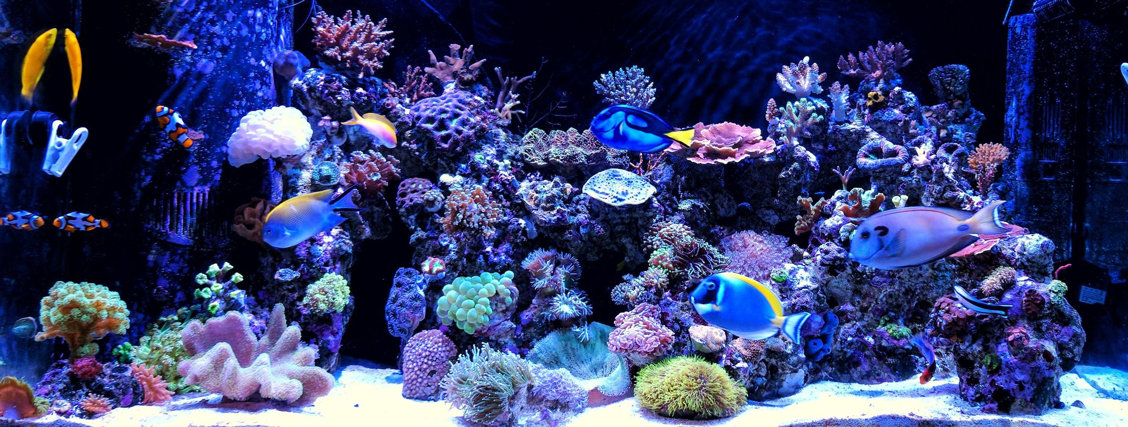 90 gallons reef tank (mostly live coral and fish) - My two years old reef tank.