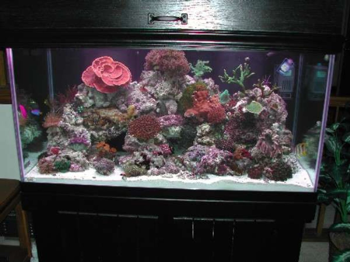 "120 gallons reef tank (mostly live coral and fish) - Tank is a 120 gallon, 48""x24""x24"" and has the following inhabitants: Dwarf Fuzzy Lionfish, Copperband Butterfly, Yellow-tailed Blue Damsel, Pajama Cardinal Fish, Orchid Dottyback, One-Spot Rabbitfish, Maroon Clownfish Alcyonium, Maroon Bubbletip Anemone, Devils Finger Leather, Sarcophyton, Ricordia, Tonga Mushrooms, Daisy Polyps, Encrusting Gorgonian, Green Star Polyps, Blastomussa Welsi and Merletti, Montipora Capricornis, Montipora Digitata, Green Tree, Blue Zenia, Red Sea Zenia, Crocea Clam. I have 500 watts of MH and 220 watts of VHO. I also have a LunerTracker for night time viewing. My sump is a 30 gallon breeder with baffles which houses an AquaMedic Skimmer and a Mag12 return pump. There is also an automatic topoff unit. The tank is the result of combining a 55 gallon and a 29 gallon. Now I only have one tank to take care of:)"
