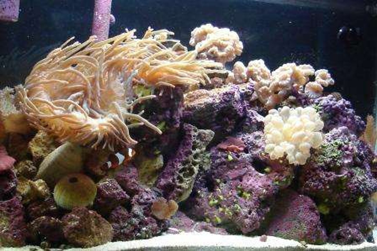 38 gallons reef tank (mostly live coral and fish) - 17 Months Old