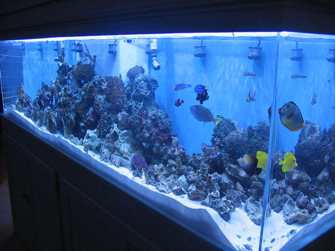 90 gallons reef tank (mostly live coral and fish) - full tank shot 265 gal.