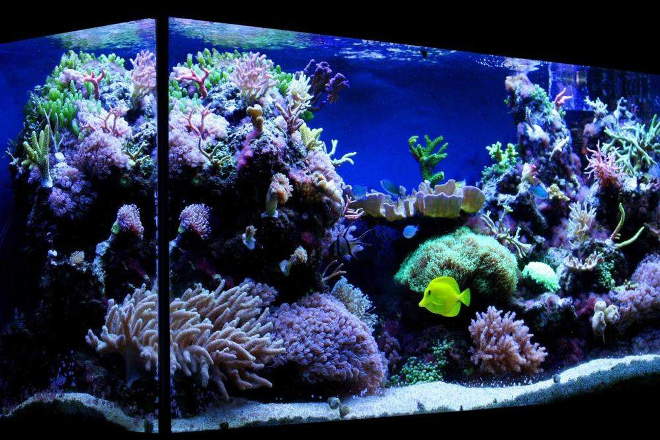 100 gallons reef tank (mostly live coral and fish) - My 100 gallon (375L) reef tank.