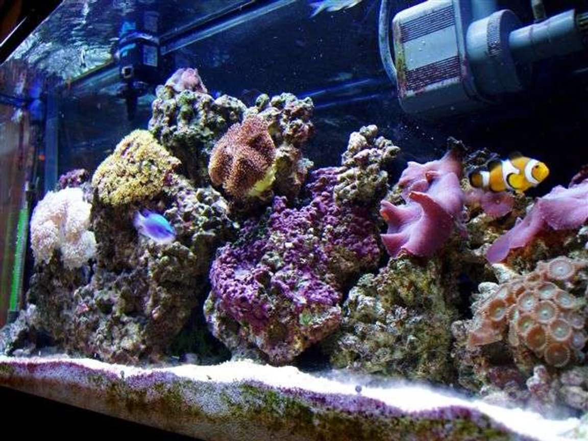 reef tank (mostly live coral and fish) - coral life