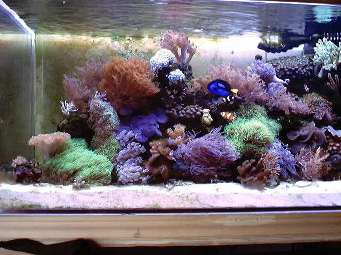 130 gallons reef tank (mostly live coral and fish) - My 130gallon Reef!!!