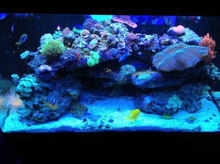 66 gallons reef tank (mostly live coral and fish) - Sorry for bad pic, Iphone picture :P