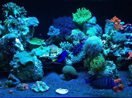Rated #8: 187 Gallons Reef Tank - ReEfErAdDiCt'S 187 Gallon Mixed Reef