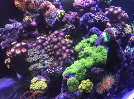 165 gallons reef tank (mostly live coral and fish) - My little garden