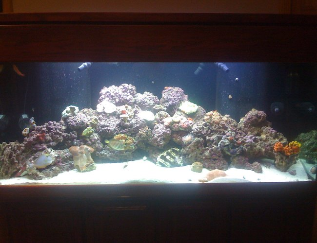 156 gallons reef tank (mostly live coral and fish) - the lights just came on