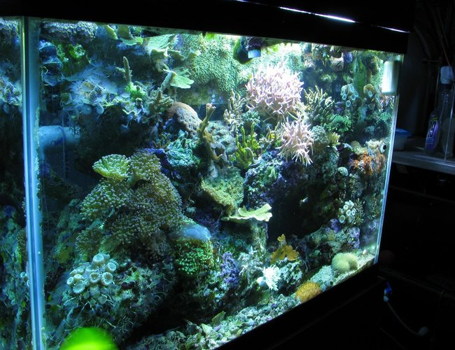 65 gallons reef tank (mostly live coral and fish) - ckoral reef