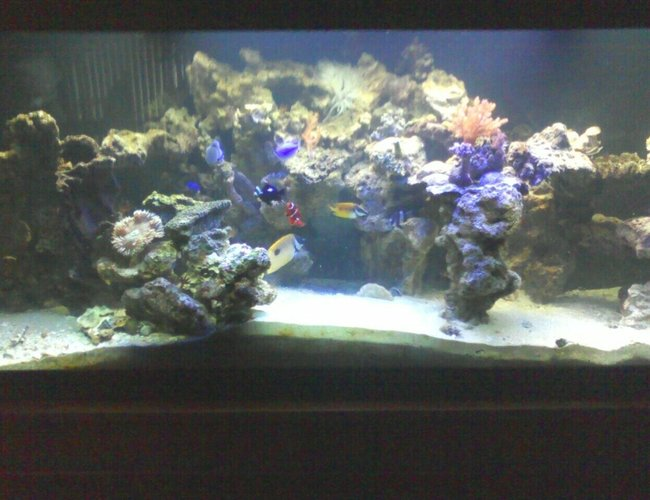 125 gallons reef tank (mostly live coral and fish) - everybody hanging out