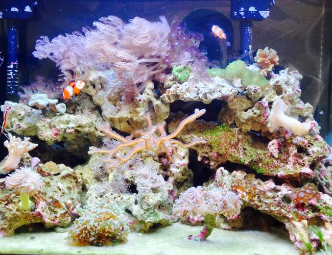 20 gallons reef tank (mostly live coral and fish) - Upclose