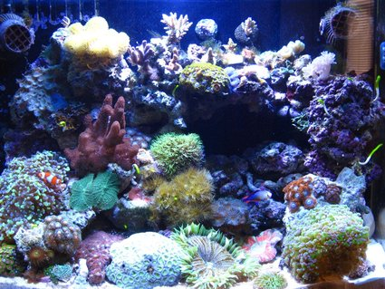 Rated #36: 34 Gallons Reef Tank - My 34 Gallon Cadlight at 5 1/2 Months