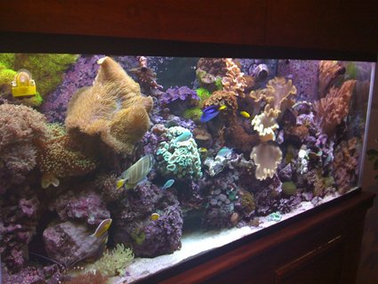 Rated #31: 150 Gallons Reef Tank - Updated picture of my reef tank