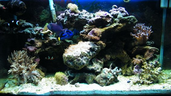 Rated #60: 29 Gallons Reef Tank - my tank