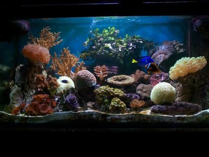Rated #5: 120 Gallons Reef Tank - My Reef Tank With new coral Frog spawn