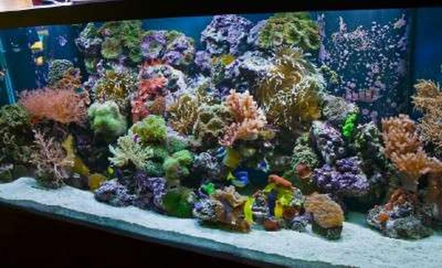 Rated #8: 220 Gallons Reef Tank - 220 Reef-- By Aquariums By Sissy, Midland TX.  Full tank shot. Aquarium has 55 gal. refugium and 1200 Watts of metal halide 1400K, 4-96 watts of power compact actinic, and moon lights. 2-1200 mag drive return pumps and no other circulation, so no cords to be seen.
