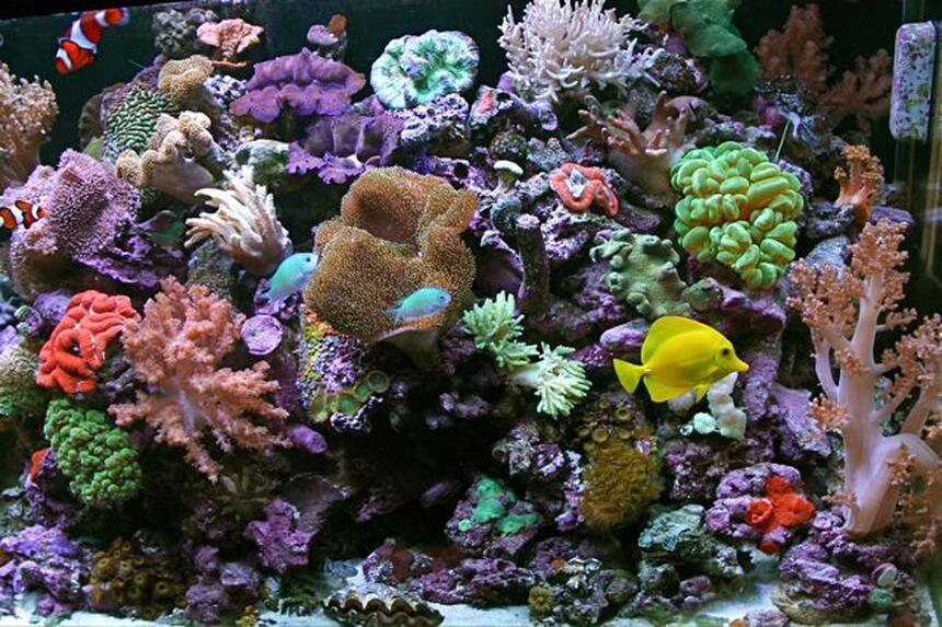 Rated #4: 80 Gallons Reef Tank - the   shepherdsreef killer  65 gallon reef with 15 gallon sump jbj ato,halides prime 1/10 LOT OF CORALS 