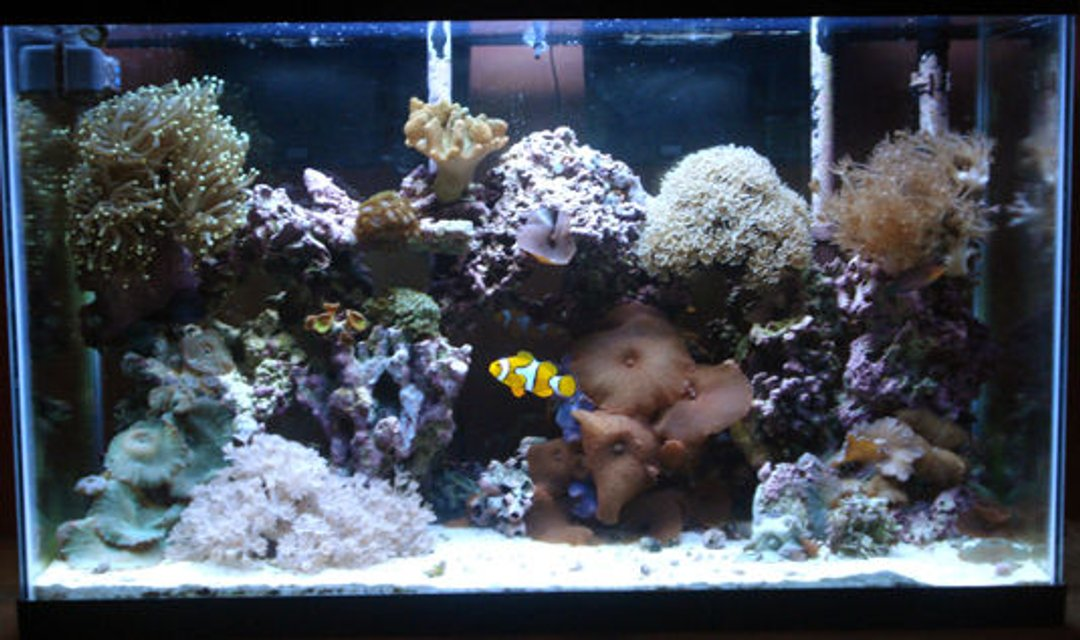 Rated #71: 29 Gallons Reef Tank - 29 gallon reef tank, one year established