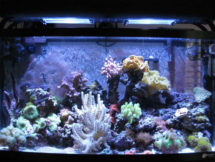 Rated #51: 46 Gallons Reef Tank - 46 Gallon Bow mixed sps, lps, softies, zoanthid and mushroom reef with 35 corals total, purple serpent star, peppermint shrimp, emerald crab, various blue legged crabs and astrea snails. Fish - Solarensis Wrasse, Oscellaris Clownfish, Bicolor Blenny, Green Spotted Mandarin. 65 lbs of LR and 15lbs of LS. 2 x 150 watts of 14,000K Phoenix bulbs Sunpod. Aqua C Remora Skimmer, 3 Hydor Koralia 1's.