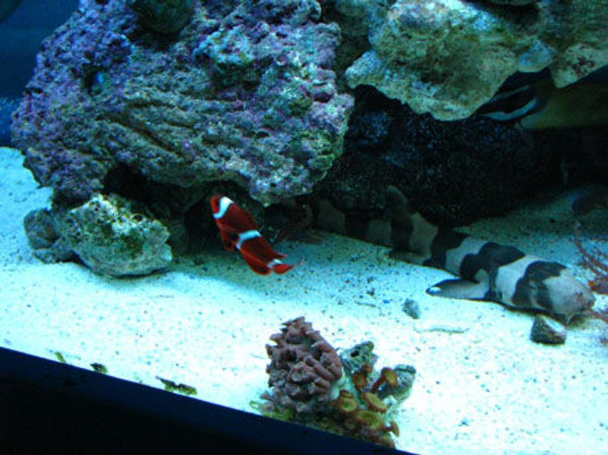Rated #113: 150 Gallons Reef Tank - shark and clown