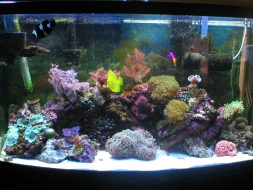 Rated #91: 46 Gallons Reef Tank - The beauty!