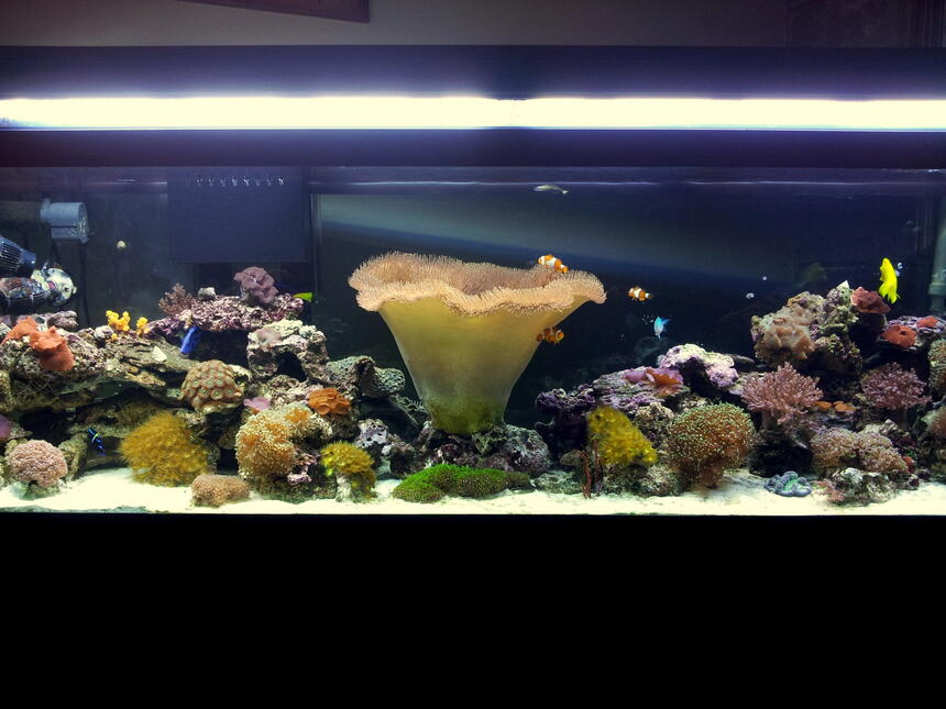 Rated #10: 125 Gallons Reef Tank - My 125 gal reef aquarium