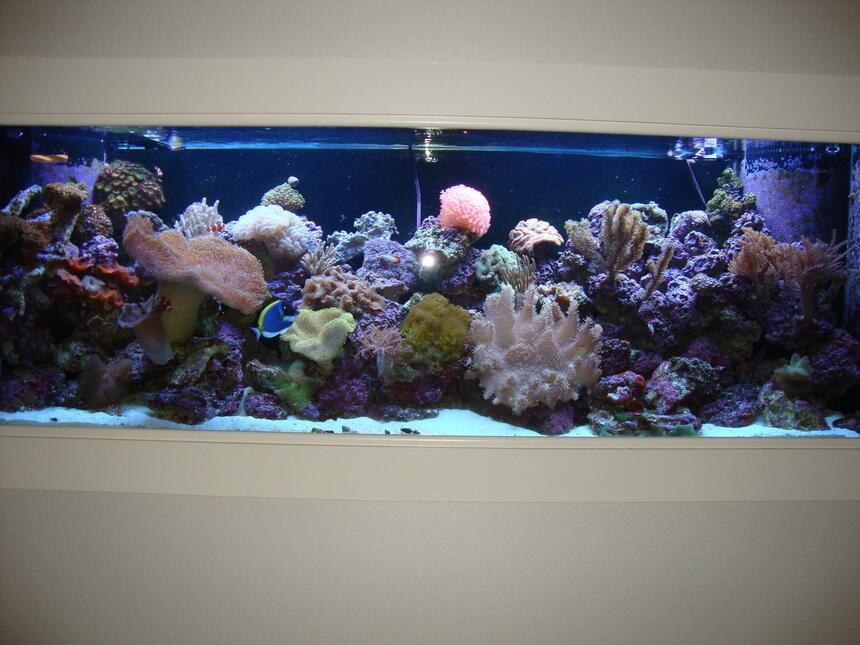 Rated #3: 150 Gallons Reef Tank - New tank, only been setup for 7 months. All corals are aquaculture to reach show size before being placed. Thanks for looking