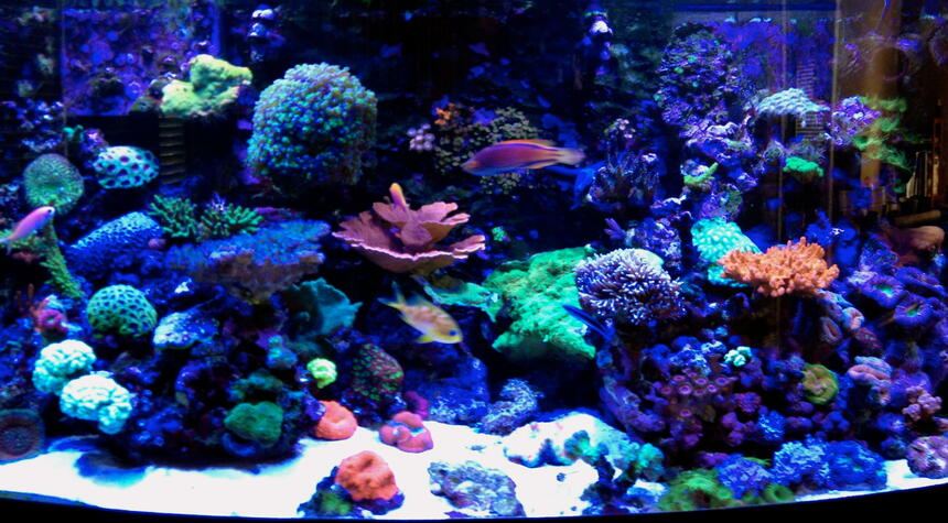 Rated #8: 75 Gallons Reef Tank - Erik's 75 gallon bow-front