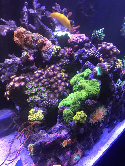 Rated #2: 165 Gallons Reef Tank - My little garden