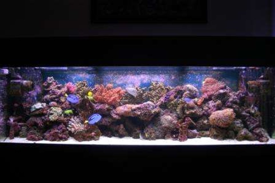 Rated #53: 125 Gallons Reef Tank - 125g 72'x18'x22' VHO lighting ARO Ballasts, 880watts URI bulbs, 2 Seio 2600's, 150-200lbs of live rock, 100 lbs of live sand, ASM G3 protein skimmer, 35 gallon sump, mag 12 return pump, sedra pump running the skimmer, lots of corals, 1 Clown tang, 2 Blue Hippo tangs, 2 false percula's, 1 tile fish, 2 dart goby's, 1 blue damsel, 1 singapore angel, 2 cleaner shrimp, 1 purple loster, 1 corrase wrasse, 1 green chromis, 2 sand sifting star fish, lots of crabs and snails Total Cost Aprox 8500$