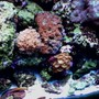 55 gallons reef tank (mostly live coral and fish) - 55 gal reef