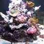 65 gallons reef tank (mostly live coral and fish) - pic4