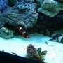 150 gallons reef tank (mostly live coral and fish) - shark and clown