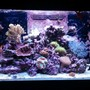 66 gallons reef tank (mostly live coral and fish) - My Paradise 2