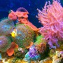 20 gallons reef tank (mostly live coral and fish) - Clown fish..Kenya tree..green star polyps...green hairy mushroom..red mushroom..purple/orange ricordea..waving hands