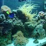 46 gallons reef tank (mostly live coral and fish) - new reef Tank pic