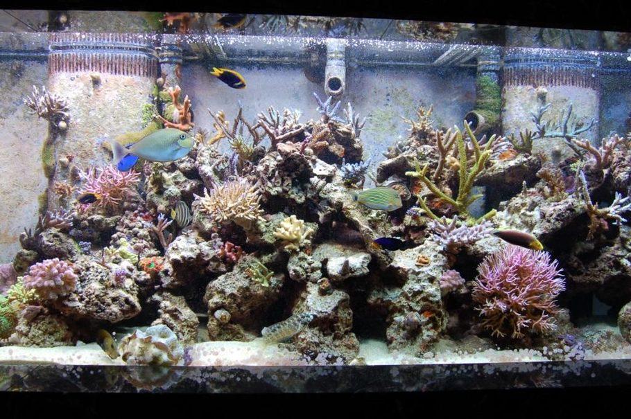 210 gallon in-wall SPS reef display 135 gallon refugium a 55 gallon & HelterSkilteru0027s Reef Tanks Photo (ID 24784) - Full Version ...