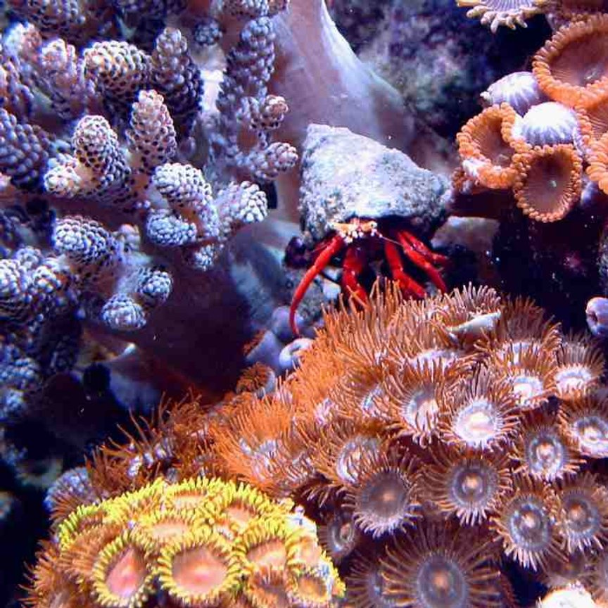 corals inverts - zoanthus sp. - spiderman zoos - First Tank 55g f/o well set out that way but starting to dabble. Cleaner crew was next step then...... New pics of tank now updated. Check out my web site!!!
