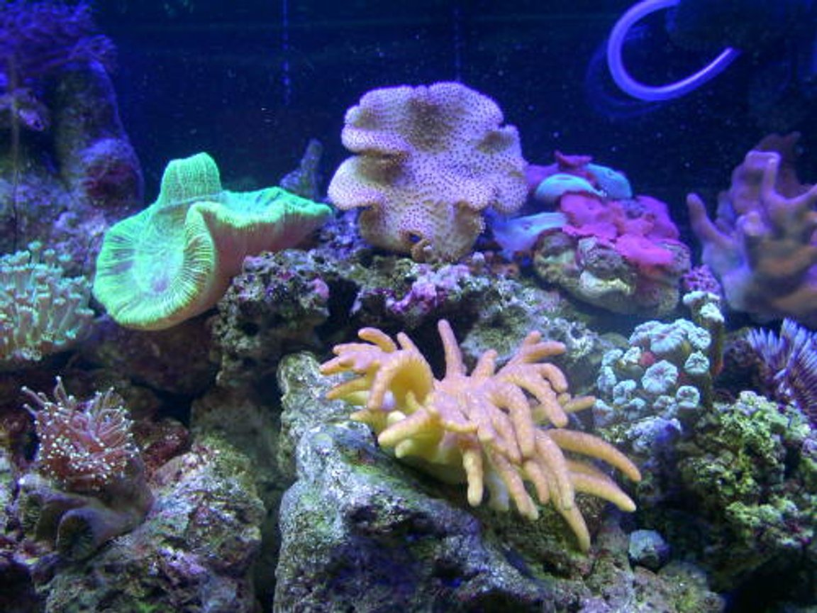 corals inverts - sarcophyton sp. - toadstool mushroom leather coral, brown - 55 gal reef tank