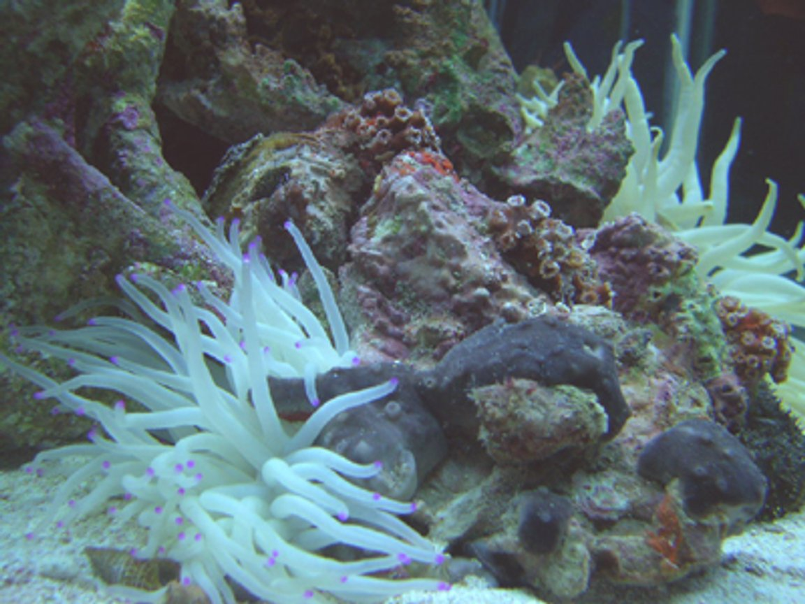 corals inverts - condylactis gigantea - condy anemone - I''ve been doing salt water tanks for about 15 years.. After a 5 year hiatus due to moving, I have started my new tank.. it's a 90 gallon hex with high output flouresent lighting, undergravel and wet/dry filtration., and protien skimmer.Currently the tank has Florida gulf aquacultured liverock, turbo snails, small hermit crabs, a small black sea cucumber, and 3 peppermint shrimp. I'm building the reef slowly to ensure it's stable and I intend to add a few small reef fish and corals as time goes by.