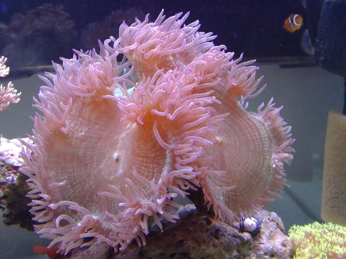 corals inverts - catalaphyllia jardinei - elegance coral stocking in 55 gallons tank - elegance coral