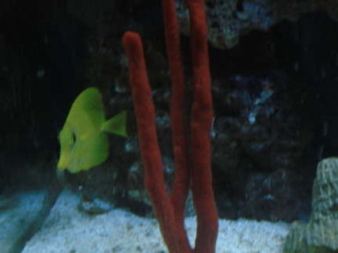corals inverts - ptilocaulis sp. - tree sponge stocking in 65 gallons tank - Yellow Tang and Red Sponge