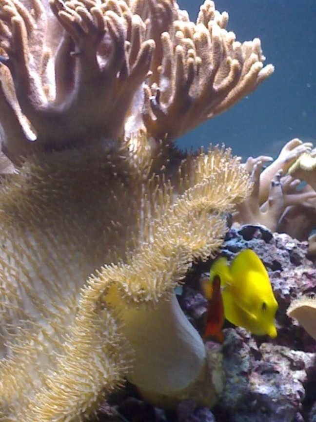corals inverts - sarcophyton sp. - toadstool mushroom leather coral, green stocking in 132 gallons tank - my aquarium15