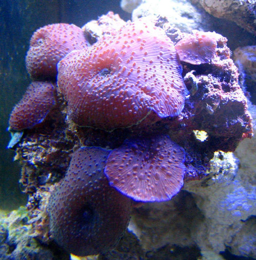corals inverts - rhodactis inchoata - bullseye mushroom, purple stocking in 200 gallons tank - Mushroom Rock : 2 month nanno tank, 10 gal