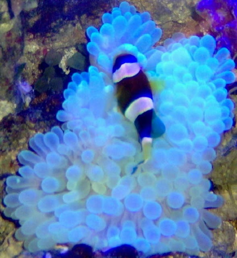 corals inverts stocking in 36 gallons tank - NIghty nighty Clown