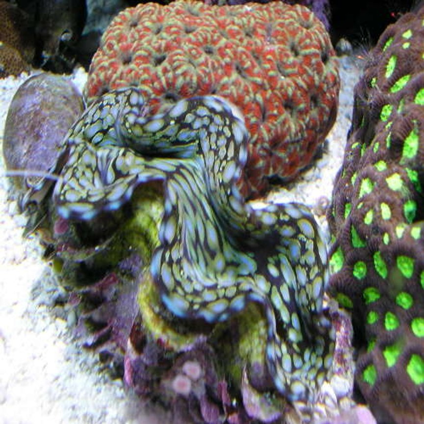 "corals inverts - tridacna squamosa - squamosa clam stocking in 180 gallons tank - my fav clam is about 6"" now."
