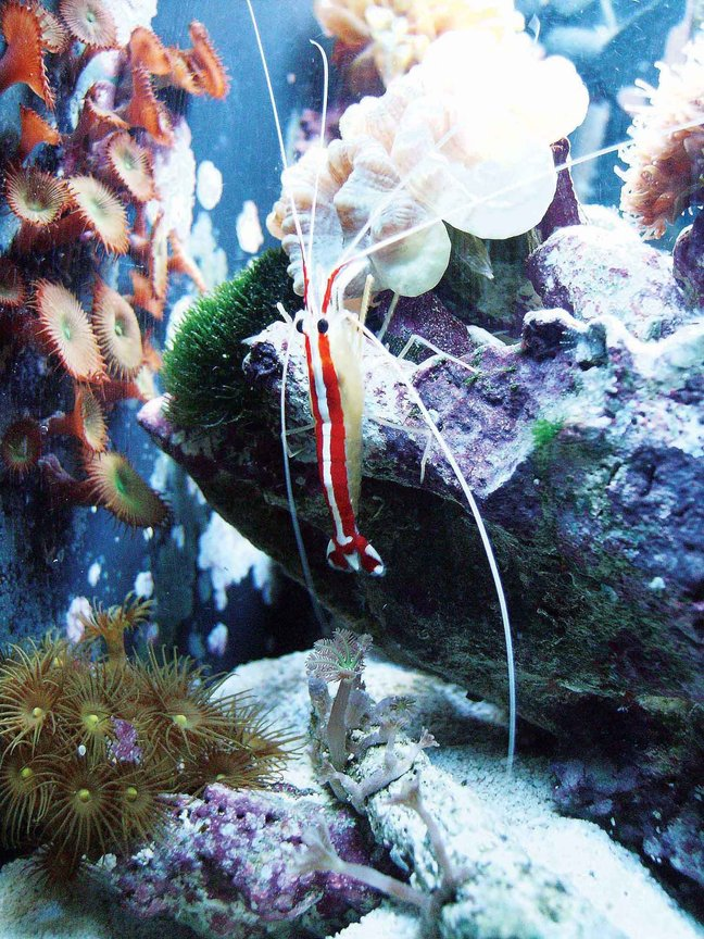 corals inverts - stenopus hispidus - banded coral shrimp stocking in 24 gallons tank - Side view o0f 12G 2 yr old shrimp-healthy