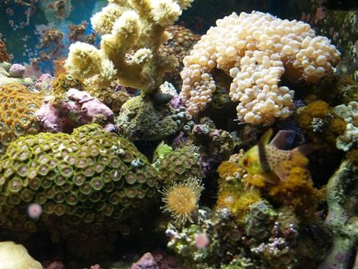 corals inverts - zoanthus sp. - colony polyp stocking in 90 gallons tank - 3 years